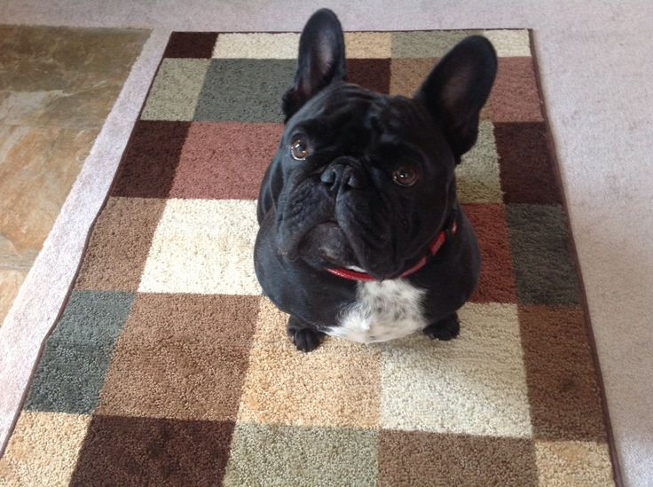 Visit Frenchbulldogsusa Com