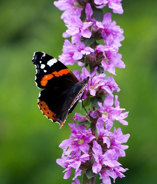 Red Admiral Butterfly ~~ | Butterflies | Pinterest
