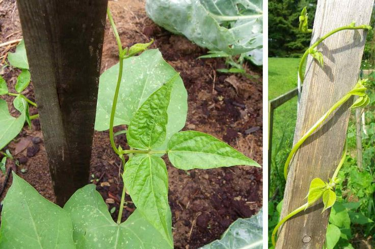 Bean vines on trellis string beans are one of the easiest things to