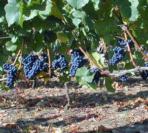 grape vinesPinot Noir Grape Vines