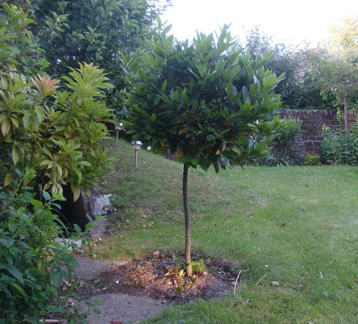 how to take cuttings from a bay tree