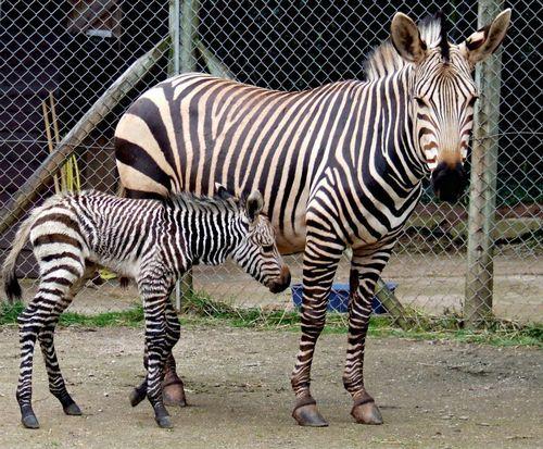 hullo little zebra!