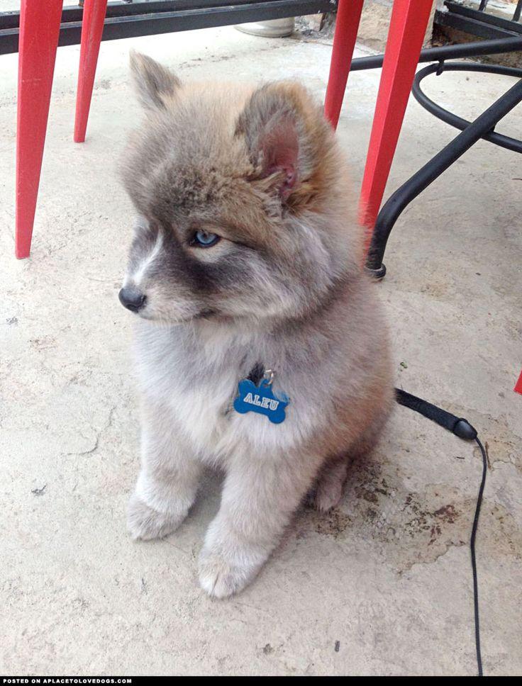 Husky Pomeranian Mix | Dog - Puppies | Pinterest