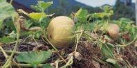 How to Make Pumpkin Seed Oil | eHow.com