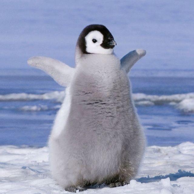 体を広げるペンギン