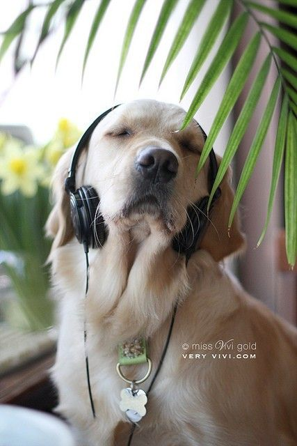 Cute dog listening to music! | Ainsley's Pins | Pinterest