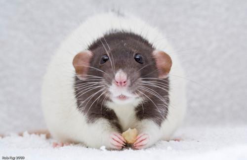 lovely rattie