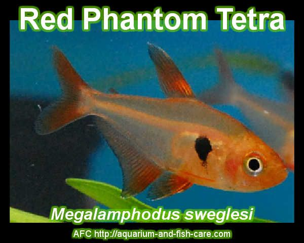 Red Phantom Tetra Aquarium Fish Pinterest