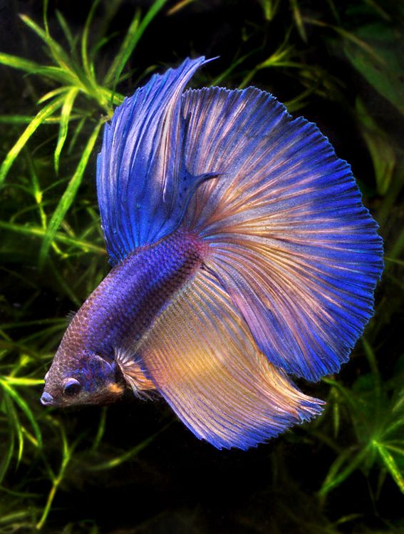 Betta blue aquarium tropical fish pinterest for What kind of fish can live with a betta