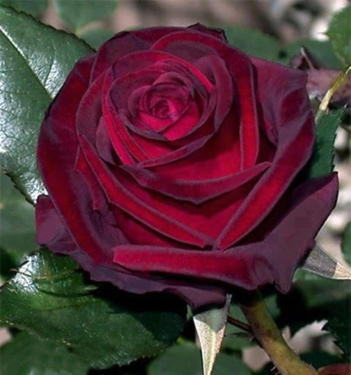 Deep red rose flores pinterest for How to dye roses black
