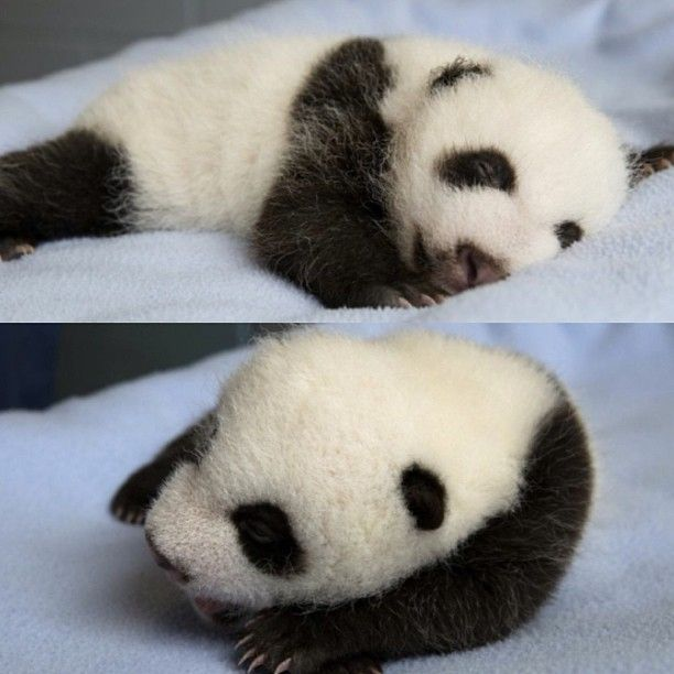 Panda Barb : The twins sleeping 08/30/13 Giant Panda Love Pinterest