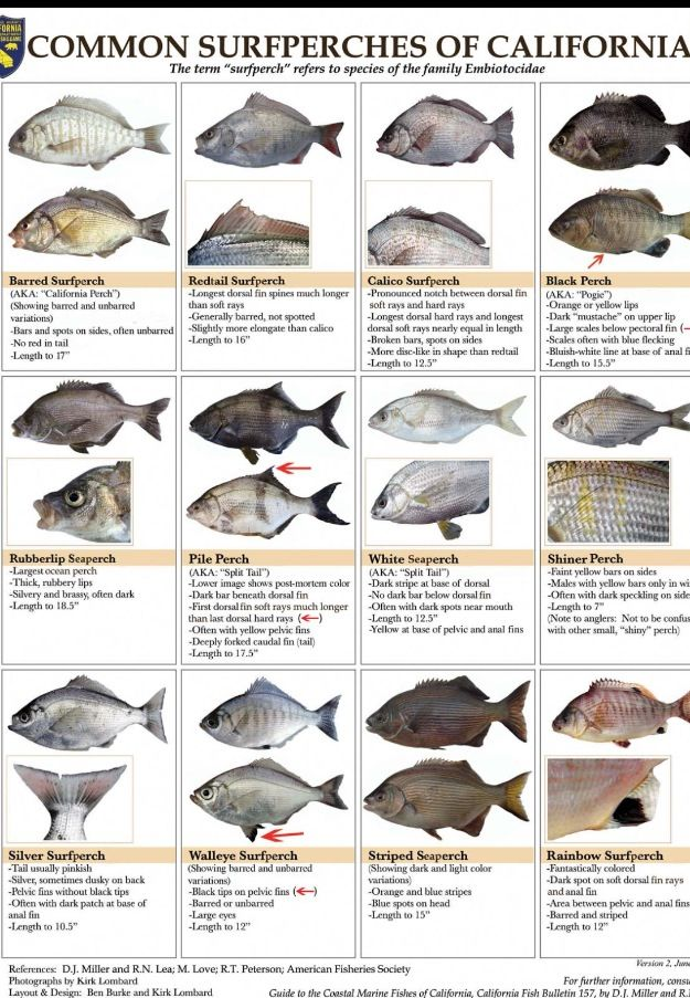 Common surf perch of california fish on pinterest for Surf fishing southern california