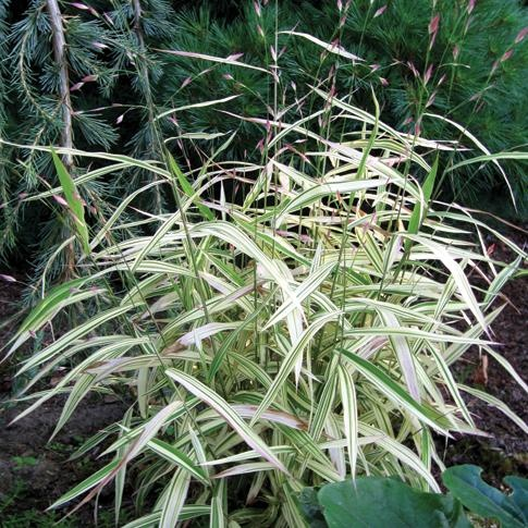 Varigated Northern Sea Oats- River Mist  is a beautifully variegated    Variegated Northern Sea Oats