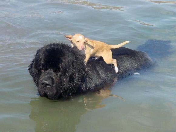 Newfoundland Dog Rescue Bc
