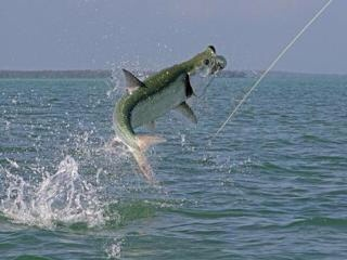 Fly fishing for tarpon in grand cayman hiking biking for Fishing grand cayman