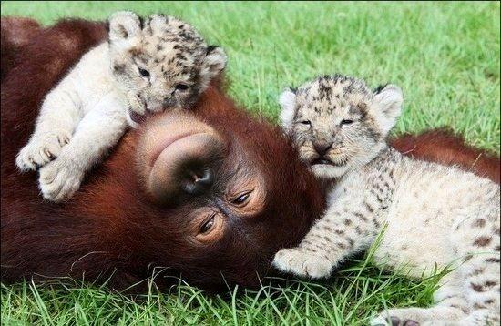 Orangutan and baby tig...