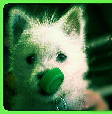 St Patrick's Day | Chuck Norris the raising of a Westie | Pinterest