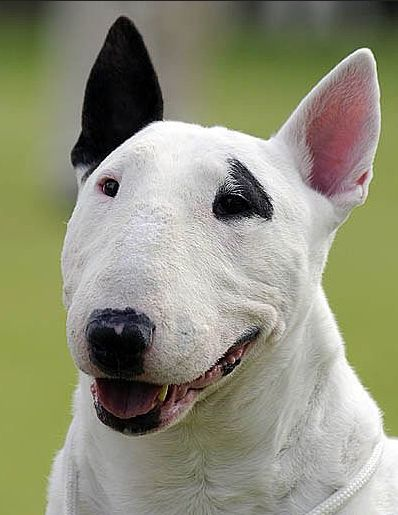 English bull terrier dog breed info mischievious bullies for English terrier