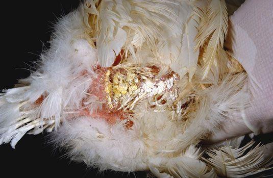 Chicken Diarrhea The Clucker S 27 Hens Later Pinterest