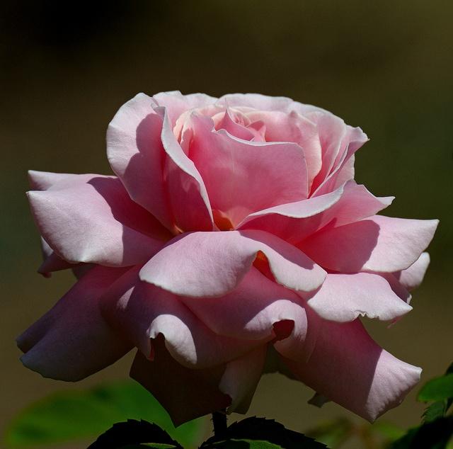 rose frederic mistral flowers pinterest. Black Bedroom Furniture Sets. Home Design Ideas