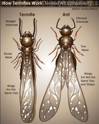 Flying termites size