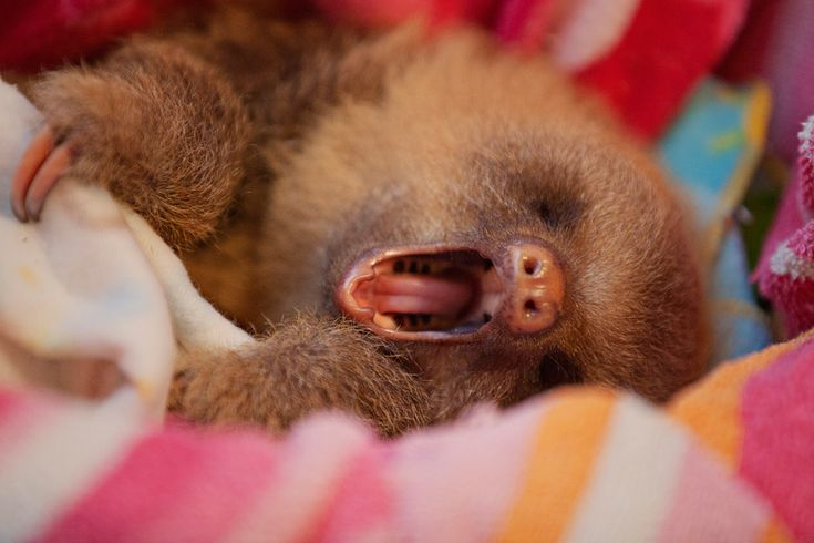 Yawning sloth! | sloths | Pinterest