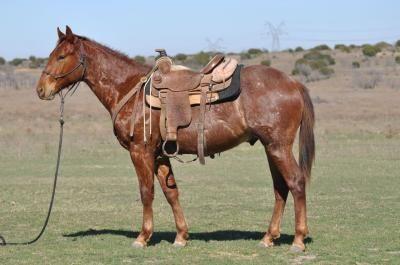 blue valentine quarter horse