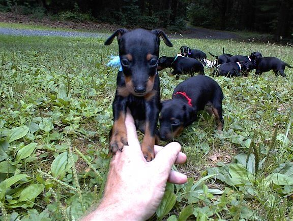 manchester toy terrier - photo #42