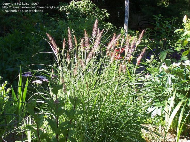 Pin by arlene allen on horticulture zone 10 grass ferns for Oriental grass for shade