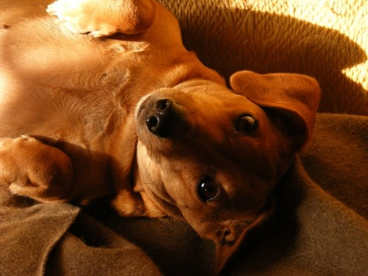 Mange in Dogs Home Remedies