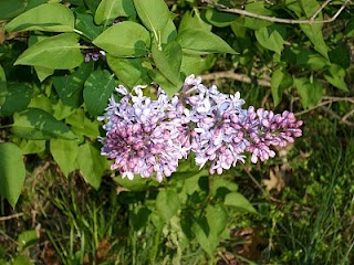 Our old fashioned lilacs garden pinterest