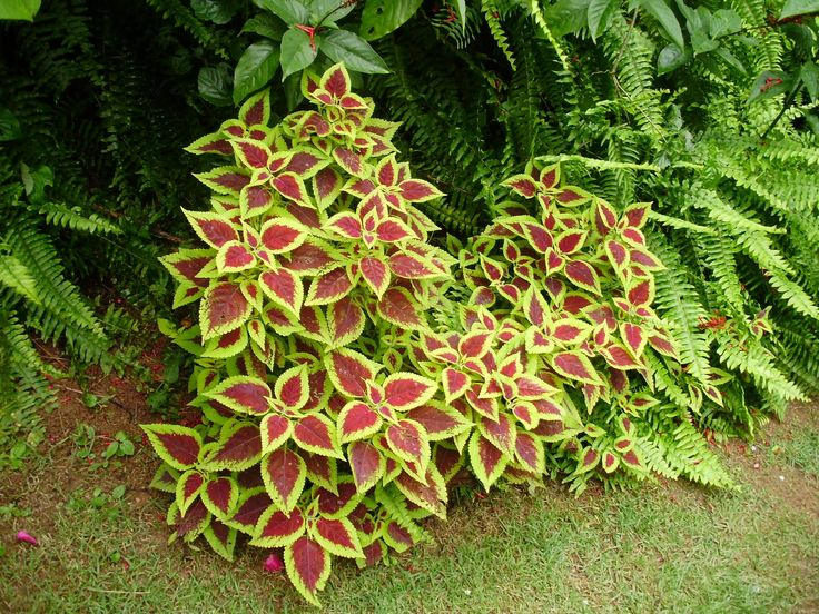 plantas bordaduras jardimColéus é uma planta herbácea bastante