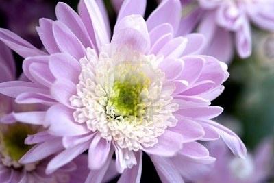 November Birth Flower Chrysanthemum Birth Month Pinterest