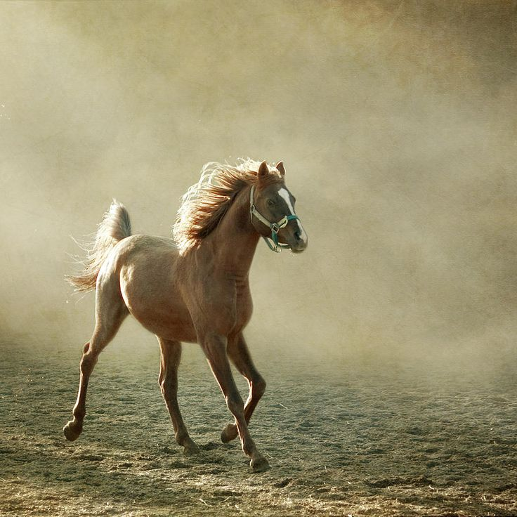 Chestnut arabian horses - photo#8