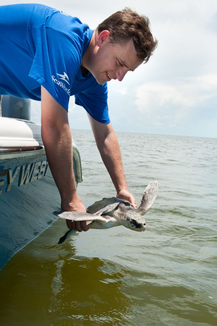SeaWorld releases turtles displaced by oil spill