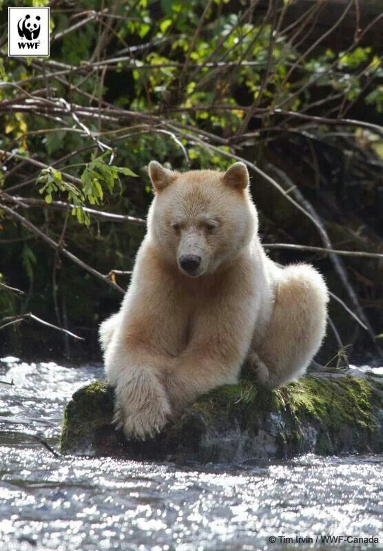 Kermode or Spirit bear | Lions, Tigers and Bears! Oh! MY ...