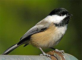 my favorite bird.