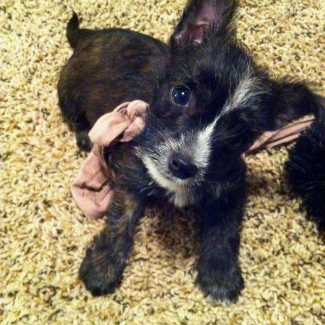 Westie/Yorkie mix. Very great dog!   Miscellaneous   Pinterest