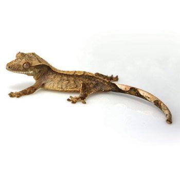 Crested GeckoEyelash Crested Gecko
