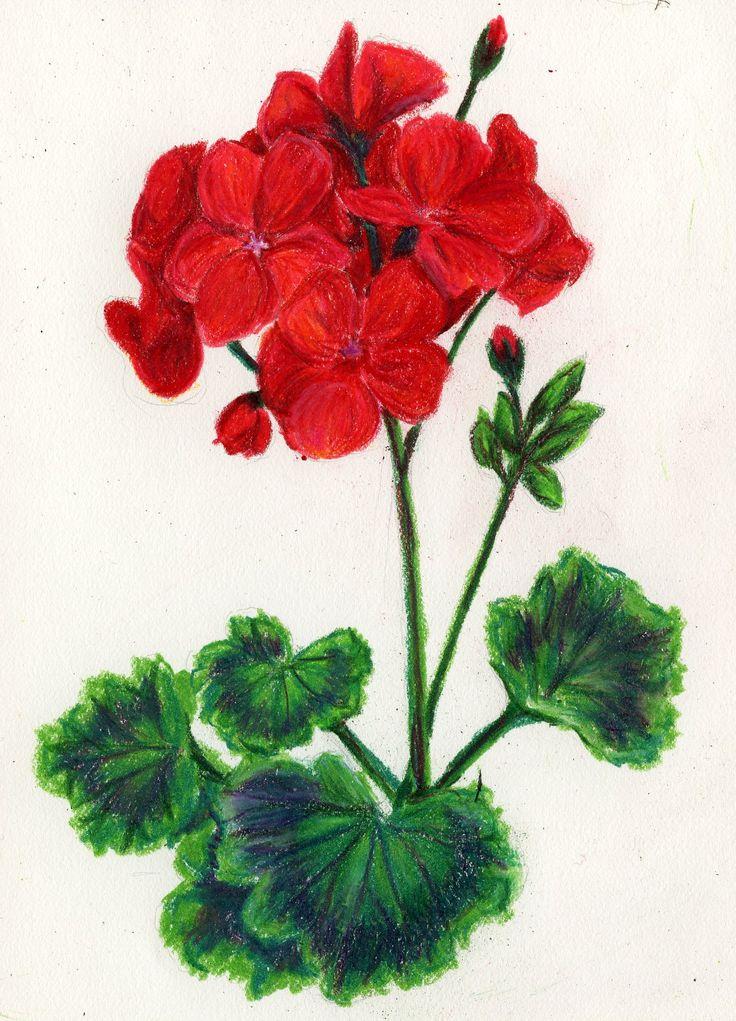 geranium flower drawing -#main