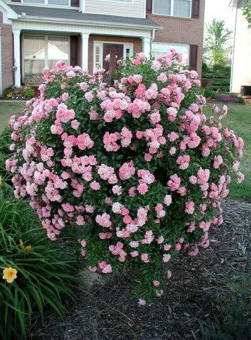 fairy rose bush wild roses and more roses pinterest. Black Bedroom Furniture Sets. Home Design Ideas
