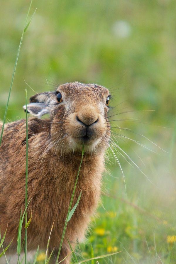 ... Hare