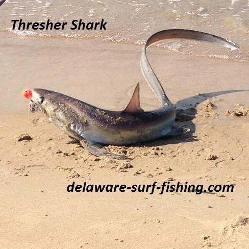 Thresher shark small caught in the surf summer of 2012 for Delaware surf fishing