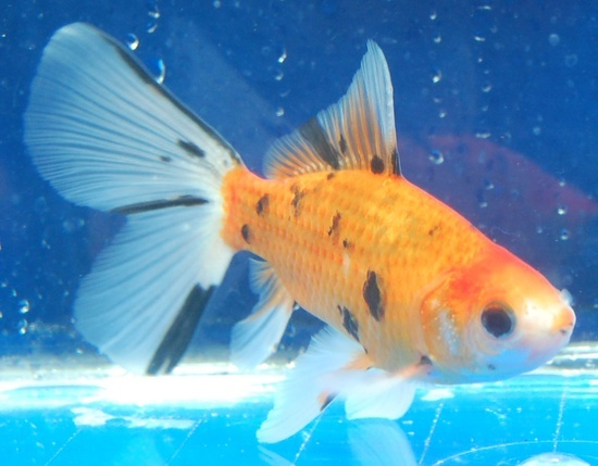 Goldfish - Shubunkin (young Bristol?) Goldfish for the Pond Pinte ...