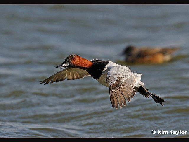 Canvasback duck | Wild...