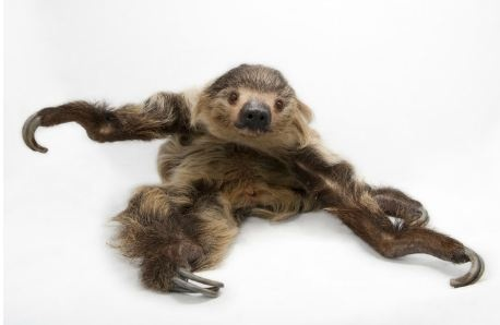 Linne's two-toed sloth. By Joel Sartore/National Geographic