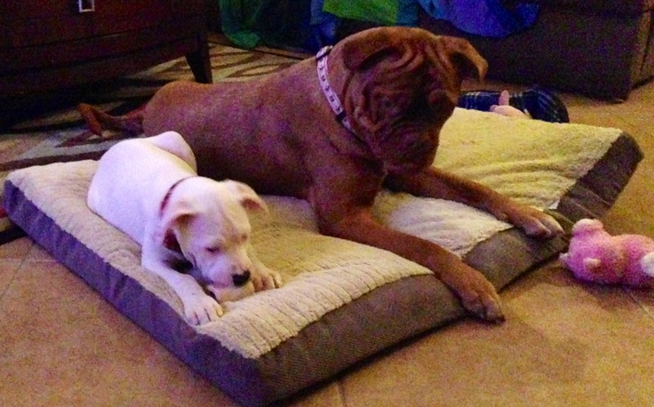 French Mastiff and boxer mix | My Dogue De Bordeaux | Pinterest