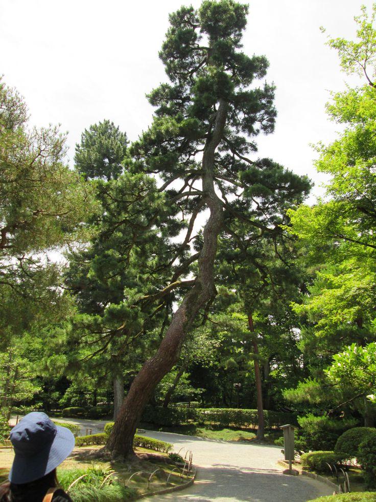 Kenrokuen garden, Kanazawa-shi, japan  theres something about trees…