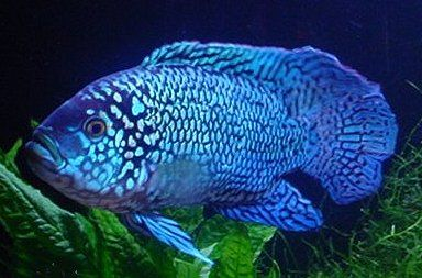 Electric blue jack dempsey i love these creatures great for Jack dempsy fish