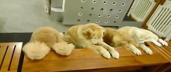 Extremely well behaved dogs pray before eating http news yahoo com